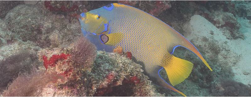 Queen angelfish Harbour Reef Aruba